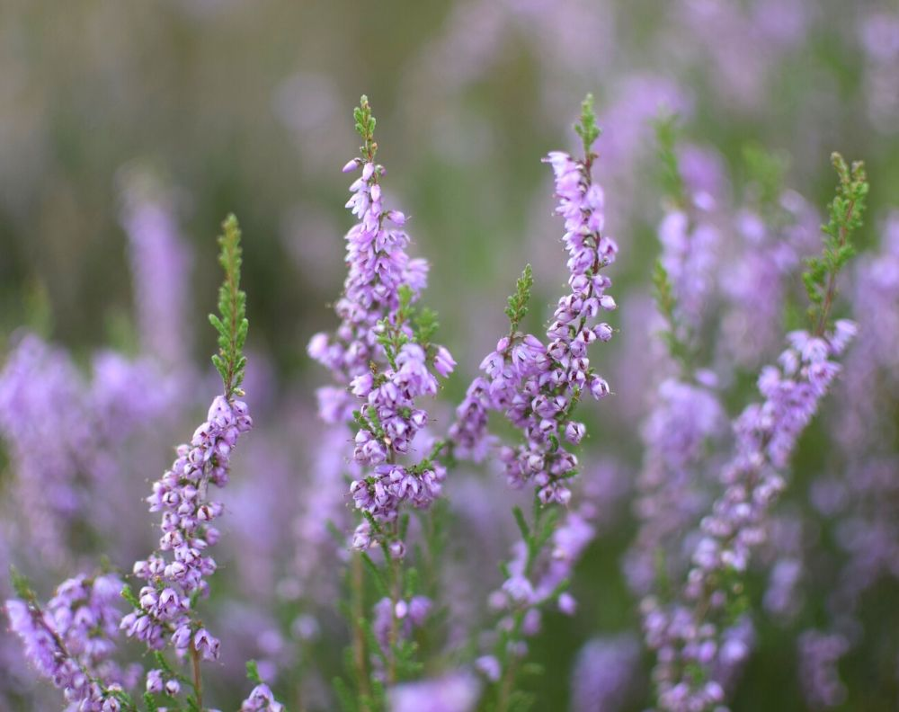 A closeup of purple blooming heather. Heather has stalks of small bell shaped flowers.
