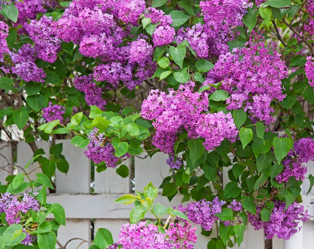 A flowering purple lilac bush on a white fence. The flowers are a bright pinkish-purple and the leaves are vibrant green.