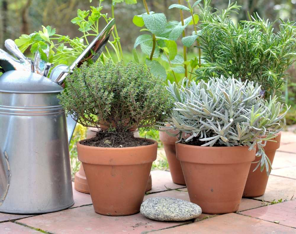 Clay pots growing thyme, lavender, rosemary, mint, and parsley. They are on a clay tile patio with a galvanized watering can.
