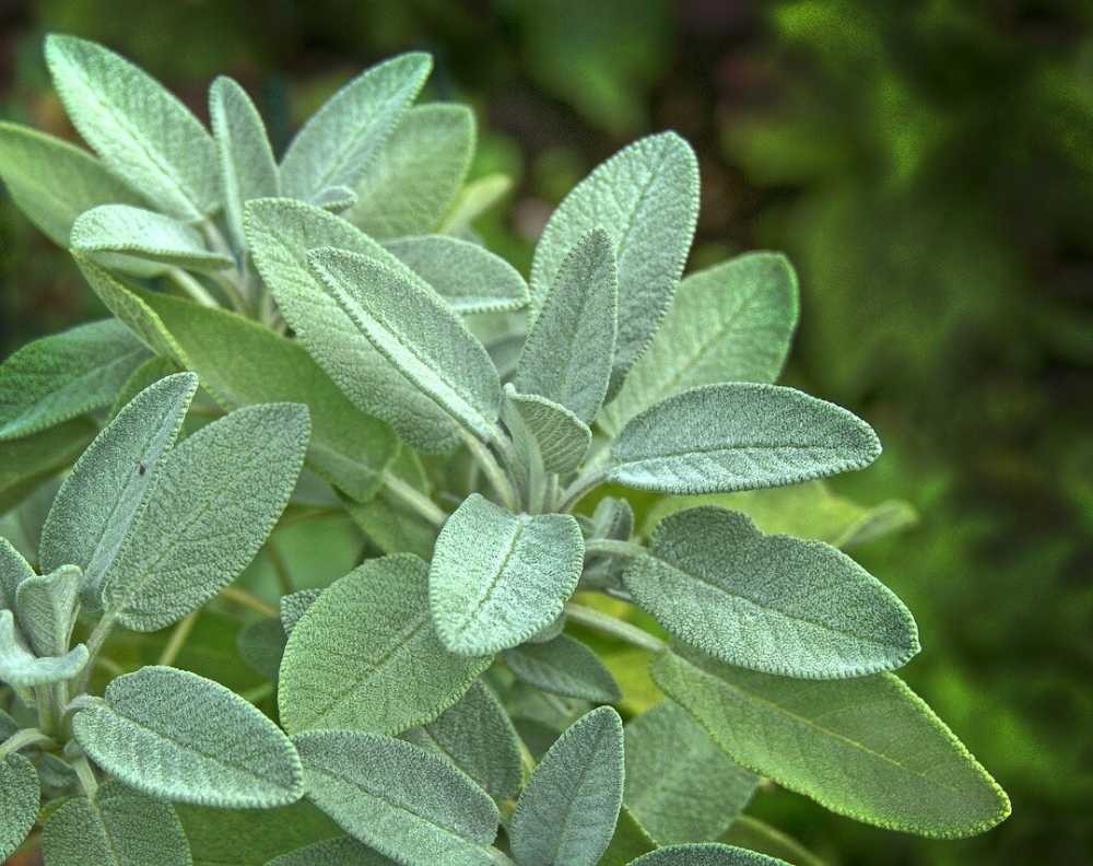 A close up view of a growing silver sage plant. Sage has thick, velvety leaves that are long, fairly narrow, and come to a rounded point