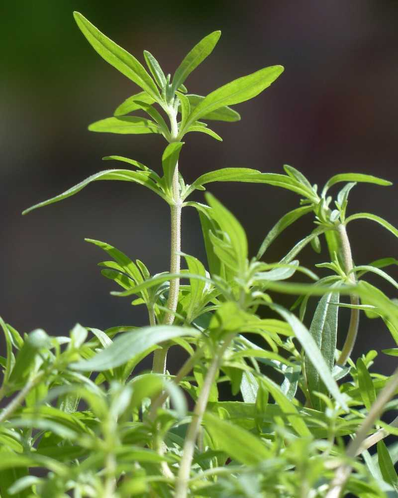A closeup shot of summer savory growing. Summer savory has long, narrow leaves.