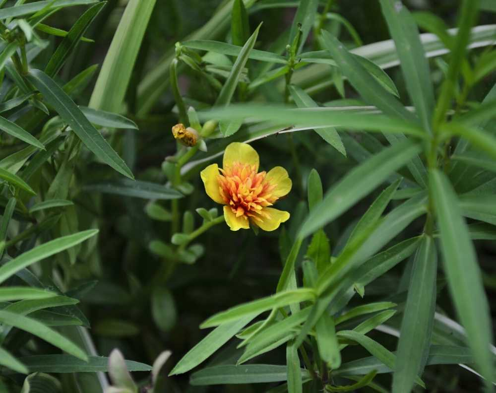 A flowering tarragon plant. Tarragon has long, narrow leaves and yellow/orange flowers with five petals