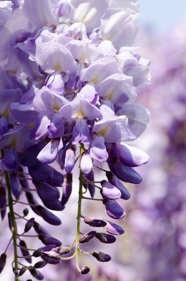 A close up of flowering wisteria. Wisteria is related to the pea plant family so the blossoms resemble purple pea blssoms.