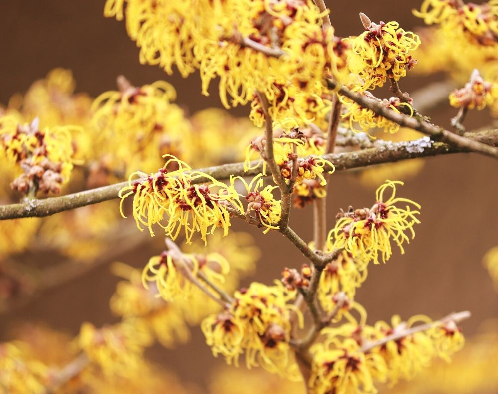 A close up of a flowering witch hazel bush. The flowers are yellow and have petals that look like strings of yellow yarn