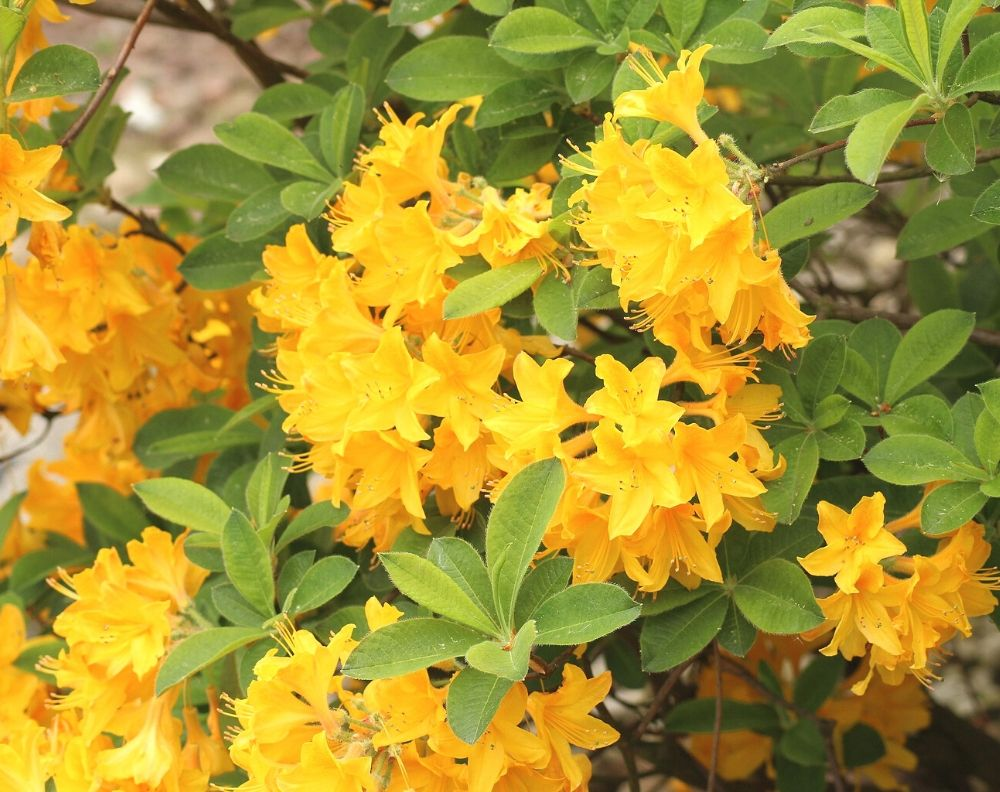 a close up of a yellow flowering azalea. The blossoms grow in cluster and the leaves are visible.