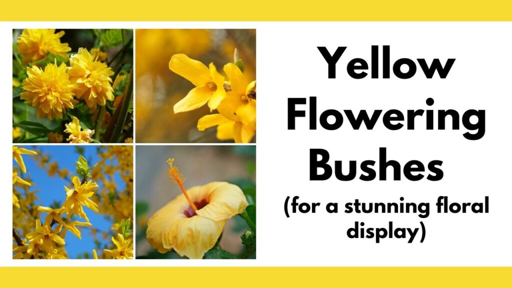 "On the left is a tiled image with four square pictures: Japanese rose, forsythia, another forsythia, and a yellow hibiscus. On the right is the text ""yellow flowering bushes for a stunning floral display"""
