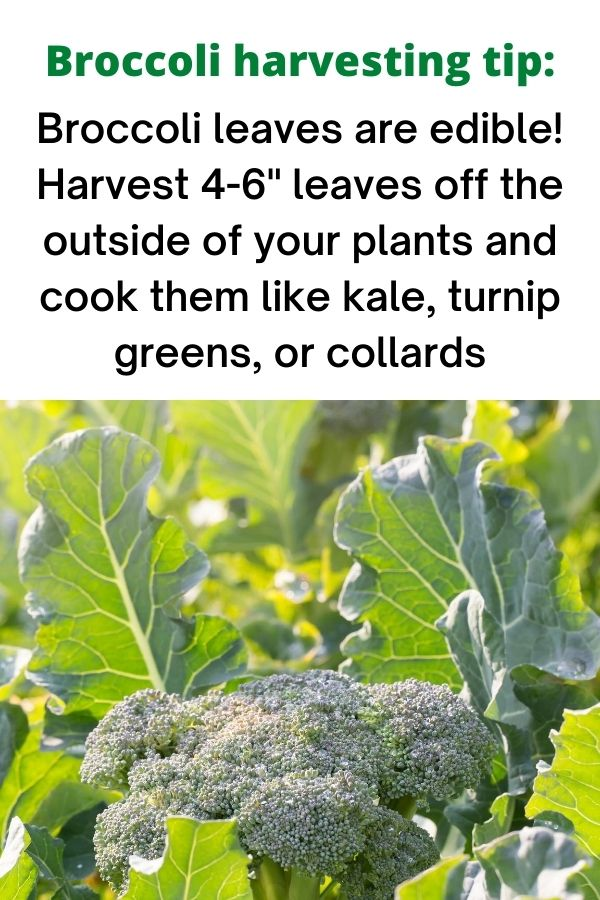 "text ""broccoli harvesting tip: Broccoli leaves are edible! Harvest 4-6"" leaves off the outside of your plants and cook them like kale, turnip greens, or collards."" Below is a picture of backlight broccoli greens around a broccoli crown."