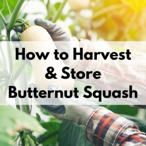 "text overlay ""how to harvest and store butternut squash"" over a picture of gloved hands picking a butternut squash off a vine"
