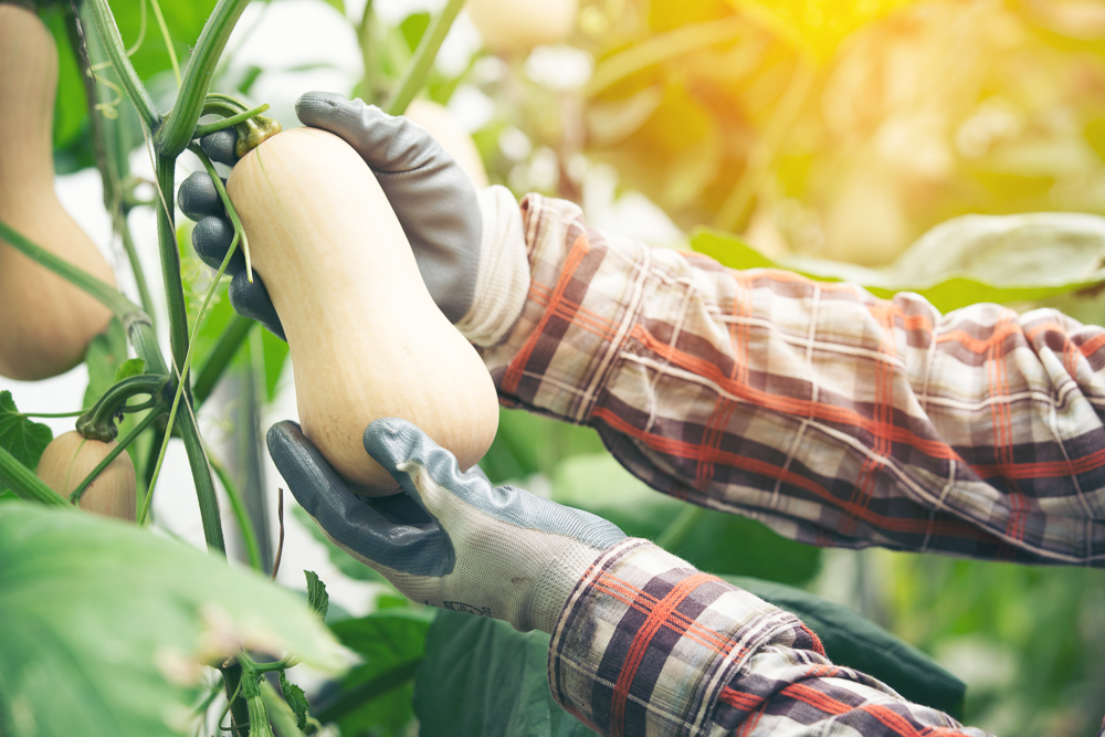 Gloved hands picking a butternut squash off a vine. The person's arms are covered in a grey and red flannel shirt. Their body and face are not visible.