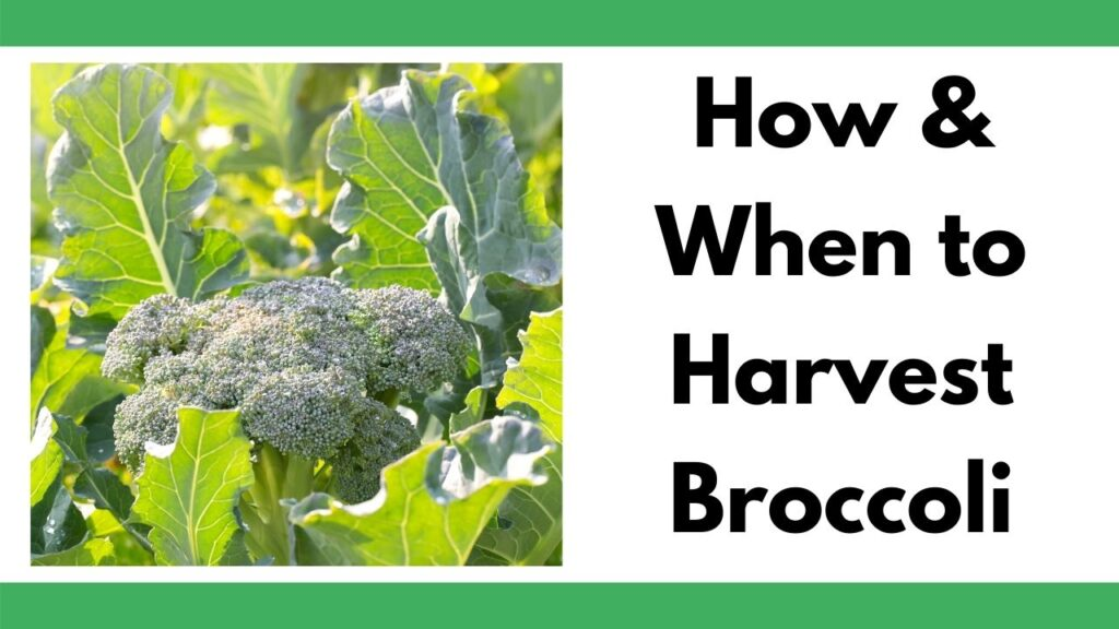 "text ""how & when to harvest broccoli"" on the right with a backlight photo of a small head of broccoli growing in leaves on the left."