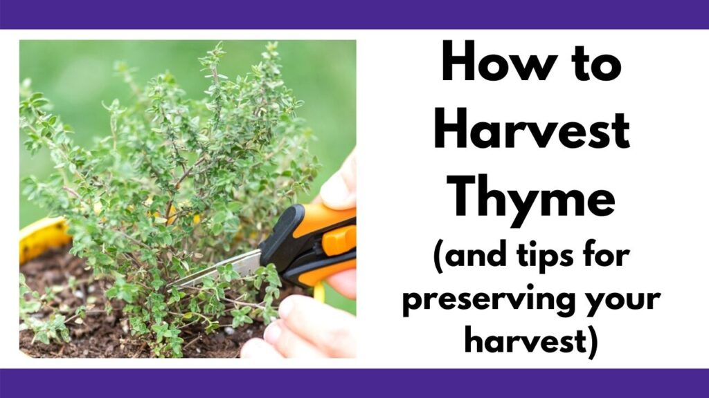 "text ""how to harvest thyme (and tips for preserving your harvest) on the right. On the left is a closeup of a thyme plant with hands holding a pair of black and orange gardening snips."
