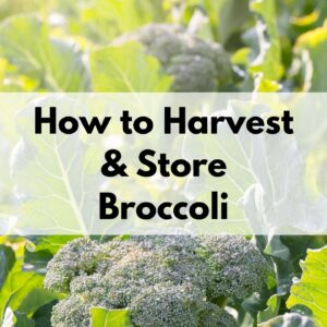"text ""how to harvest and store broccoli"" overlay on a backlit closeup photo of broccoli heads and leaves in a garden"