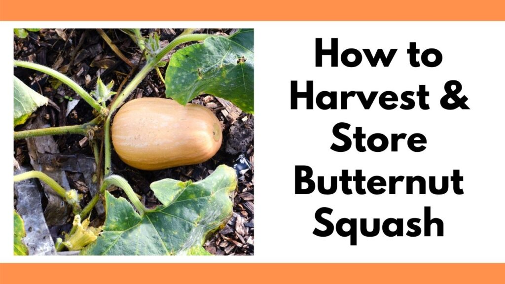 "Text ""how to harvest & store butternut squash"" on the right. On the left is a butternut squash growing on a vine."