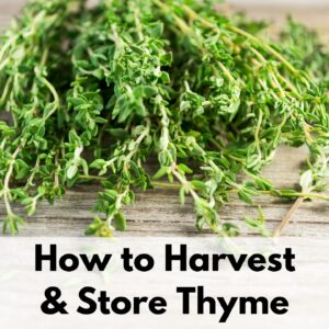 "text overlay ""how to harvest & store thyme"" on a bundle of thyme placed on a wood background"