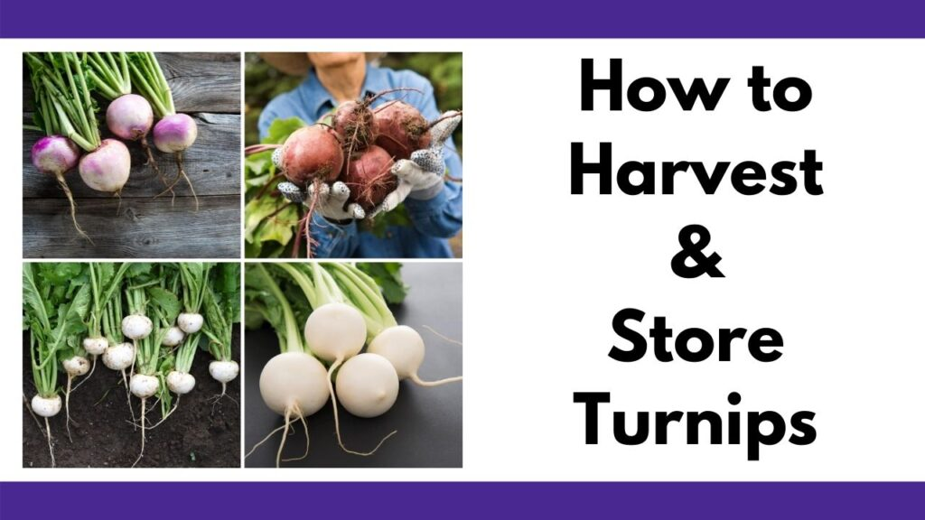 "text ""how to harvest and store turnips"" next to an image collage of four pictures of turnips. The top two photos feature purple top turnips and the bottom two pictures have white turnips"