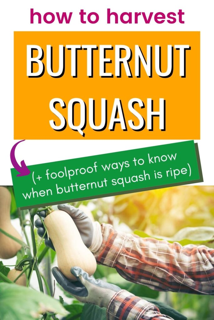 "text ""how to harvest butternut squash -> (+ foolproof ways to know when butternut squash is ripe)"" above a photo of gloved hands picking a butternut squash off a vine."