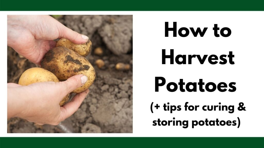 "text ""how to harvest potatoes (+ tips for curing & storing potatoes"" on the right. On the left are hands holding three freshly dug potatoes."