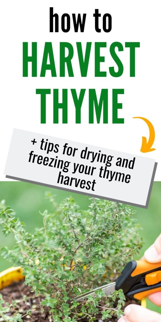 "text ""how to harvest thyme + tips for drying and freezing your thyme harvest."" Below the text is a closeup image of a thyme plant and a woman's hands holding black and orange small gardening snips"