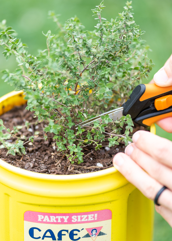 A closeup of a pair of orange garden snips cutting a thyme plant. The plant is in a yellow coffee can.