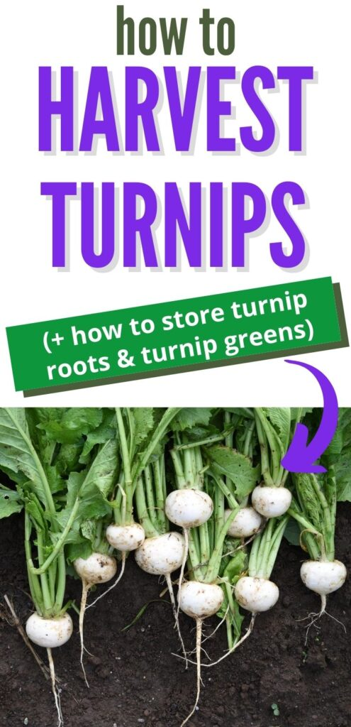 "text ""how to harvest turnips + how to store turnip roots & turnip greens"" with a purple arrow pointing at a picture of freshly picked white turnips with roots and leaves still attached."