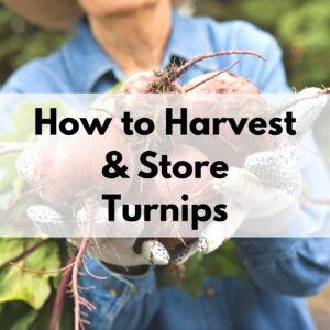 "text overlay ""how to harvest & store turnips"" over a picture of a gardener's gloved hands holding freshly harvested turnips"