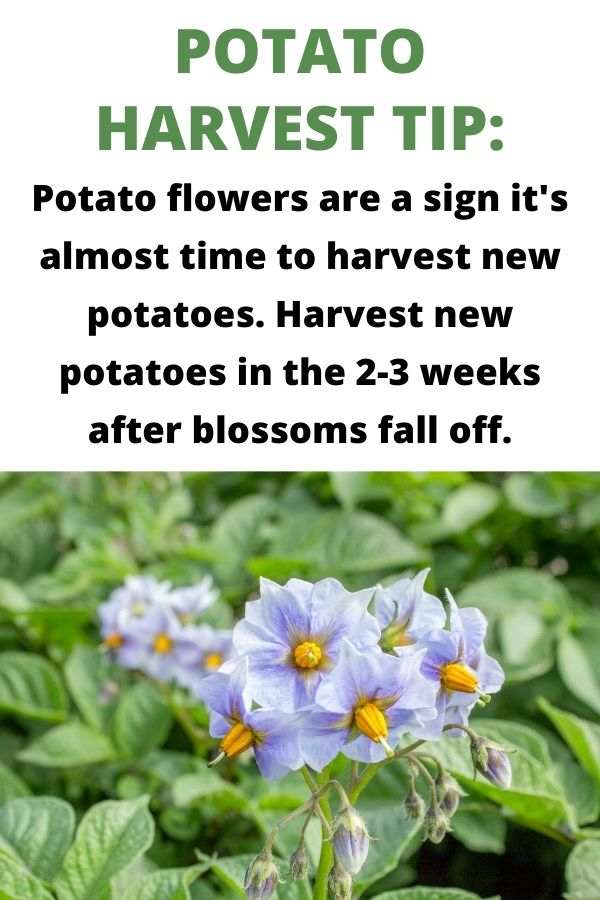 Potato harvest tip: potato flowers are a sign it's almost time to harvest new potatoes. Harvest new potatoes in the 2-3 weeks after blossoms fall off. Below this text is a close up of a flowering potato plant. The flowers are small and light purple with yellow centers.