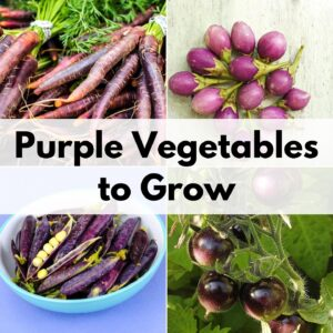 "text overlay ""purple vegetables to grow"" on top of a two by two grid of pictures of purple vegetables with purple carrots, purple eggplant, purple peas, and purple tomatoes"