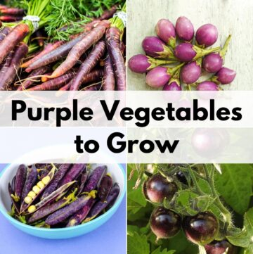 """text overlay """"purple vegetables to grow"""" on top of a two by two grid of pictures of purple vegetables with purple carrots, purple eggplant, purple peas, and purple tomatoes"""