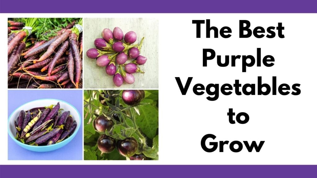 "On the right is the text ""The best purple vegetables to grow."" On the left is a four image square tile of purple vegetable pictures including purple carrots, purple eggplant, purple peas, and purple tomatoes"