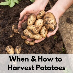 "text overlay ""when to harvest potatoes"" on the bottom portion of an image of a woman's hands full of small, new potatoes freshly dug from the ground"