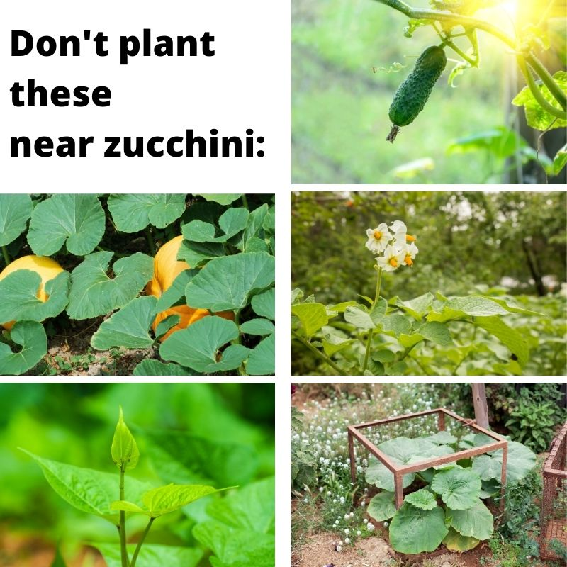 "Text ""don't plant these near zucchini"" with pictures of cucumber, pumpkin, potato, sweet potato, and squash plants"