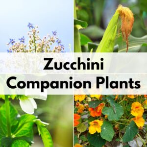 "text overlay ""zucchini companion plants"" over a 2x2 grid of plant pictures: borage, corn, peas, and nasturtiums"