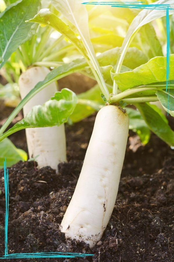 A backlit photo of two white daikon radish growing. There are teal scribble border corners in the upper right and bottom left corners.