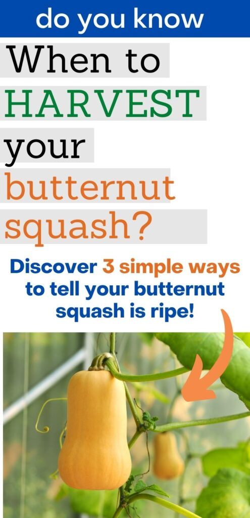 "text ""do you know when to harvest your butternut squash? Discover 3 simple ways to tell your butternut squash is ripe!"" There is an orange arrow pointing at a picture below of two golden butternut squash hanging on a vine"