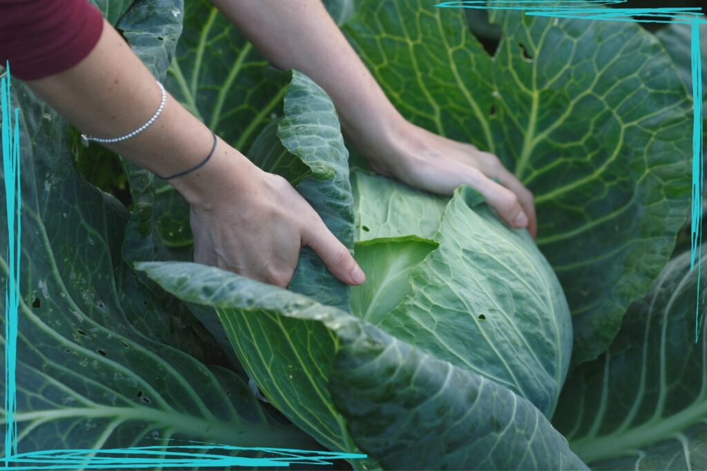 A close up of a woman's hands squeezing a head of cabbage to test for firmness to see if it is ripe yet