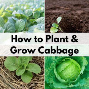"text overlay ""how to plant & grow cabbage"" over a 2x2 grid of images showing cabbage seedlings, a transplanted seedling, a young cabbage plant, and a head of cabbage that's ready to harvest"