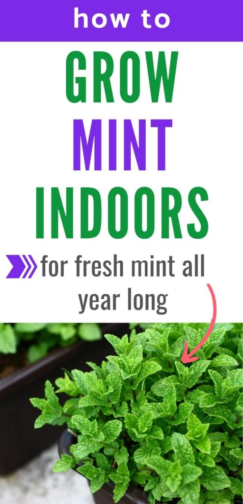"text ""how to grow mint indoors for fresh mint all year long"" with a pink arrow pointing to a picture of a bright green mint plant below the text."