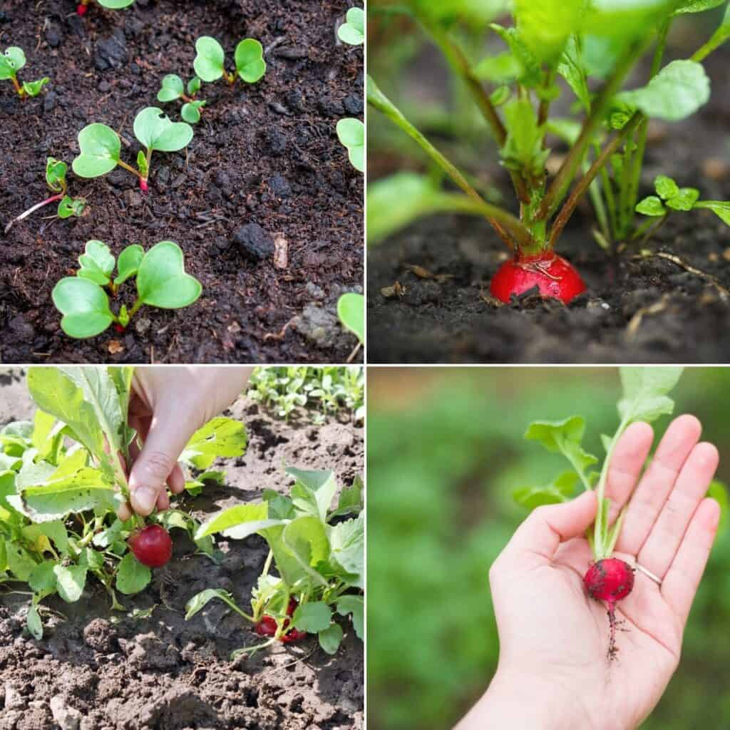 a square image with four square tiled pictures of radish seedlings, a growing radish, a radish being picked, and a freshly picked radish in a woman's hand
