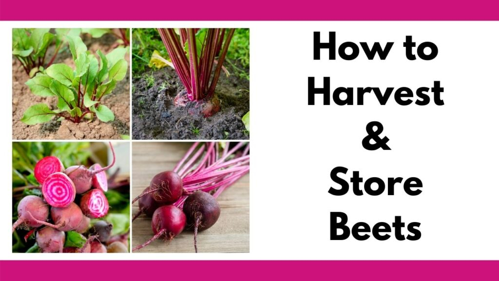 "On the left is a tiled four square image collage of red beets growing, sliced, and in a bunch on a wood counter. On the right is the text ""how to harvest and store beets."""
