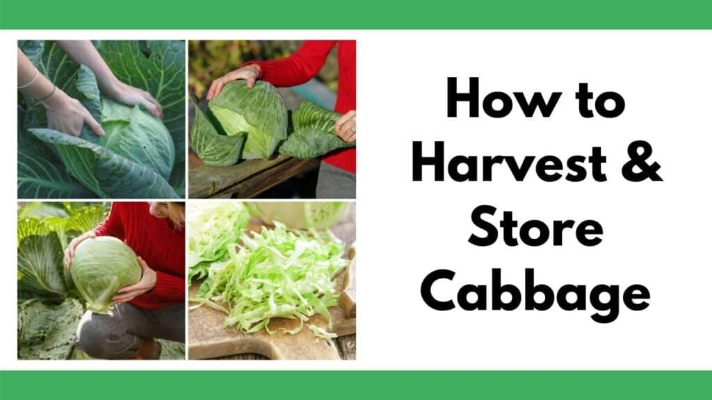 """text """"how to harvest & store cabbage"""" on the right. On the left is a 2x2 image grid of heads of cabbage in a garden"""