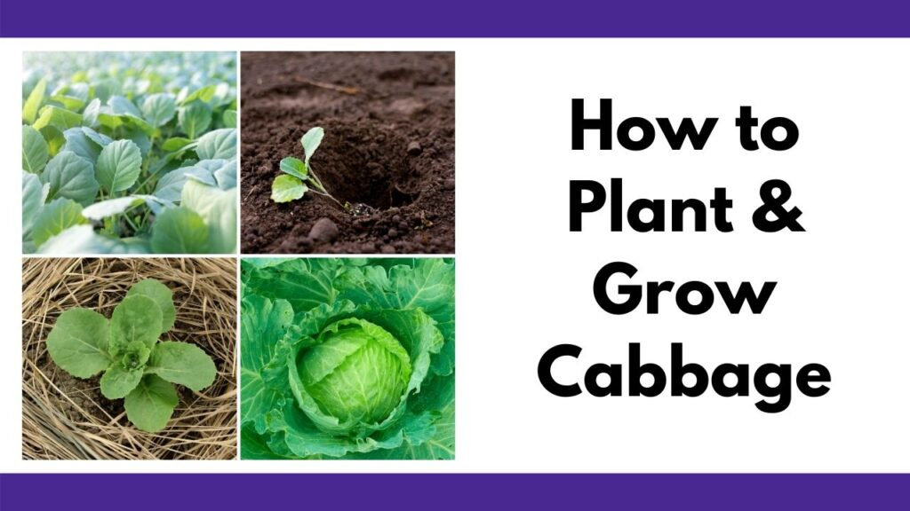 """On the right is the text """"how to plant and grow cabbage."""" On the left is a 2x2 square grid of cabbage pictures from a tray of seedlings to a seedling transplant, growing cabbage with pine straw mulch, and a green head of cabbage"""