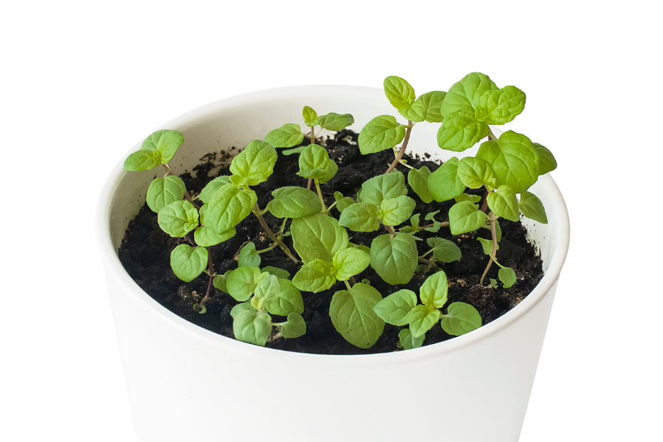 A white pot filled with short mint seedlings. The image background is white.