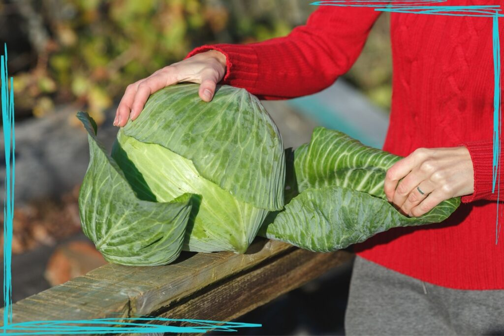 Discover how to harvest and store cabbage for the winter, including a tip for keeping your cabbage heads from splitting