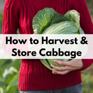 "text overlay ""how to harvest and store cabbage"" over a close up shot of a woman in a red sweater holding a freshly harvested green cabbage head"