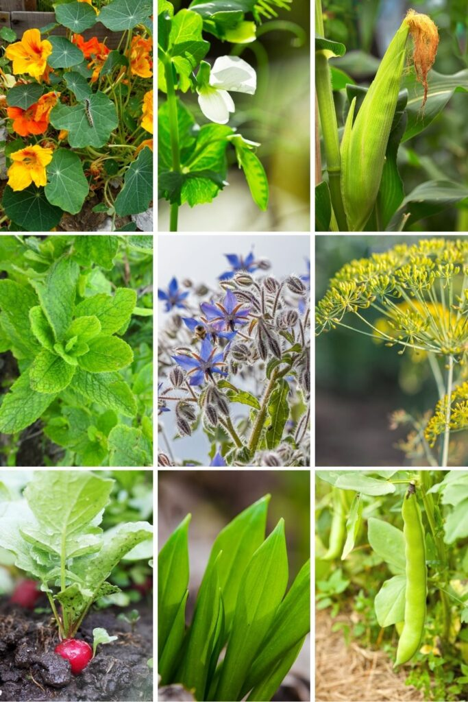 A 3x3 grid of companion plants for zucchini: nasturtiums, peas, corn, mint, borage, dll, radish, garlic, and beans
