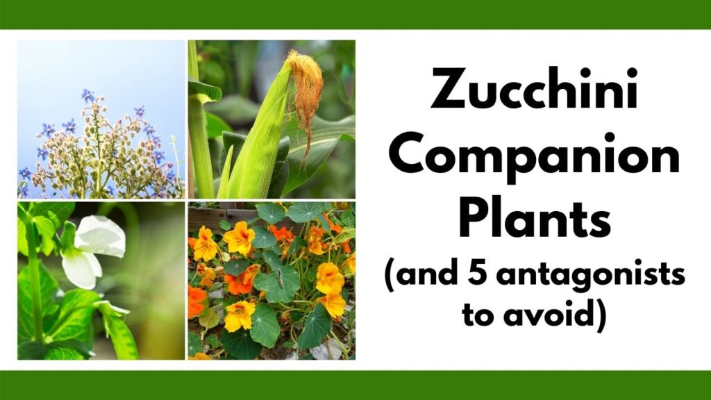 "Text ""zucchini companion plants (and 5 antagonists to avoid) with a 2x2 grid of zucchini companion plant pictures: borage, corn, peas, and nasturtiums"