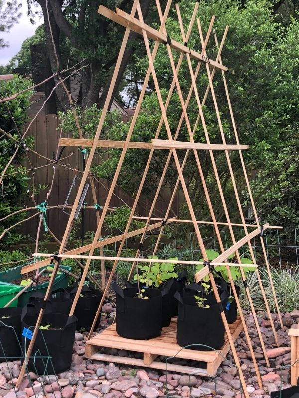 A wood a frame trellis on top of wood pallets. Under the trellis are newly planted squash plants in black fabric grow bags.