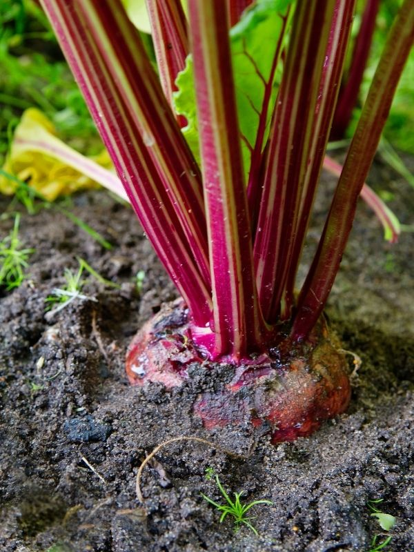 A close up of a mature beet in the garden ready to pick. The top of the beetroot is visible and so are the beet's red stalks. Only one small leaf is in the frame.