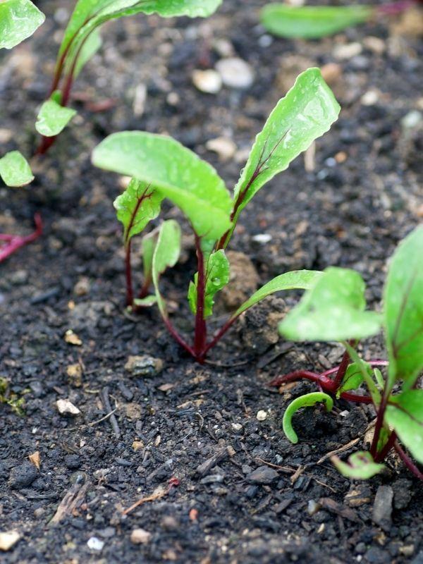 Young beet seedlings in moist, rich soil