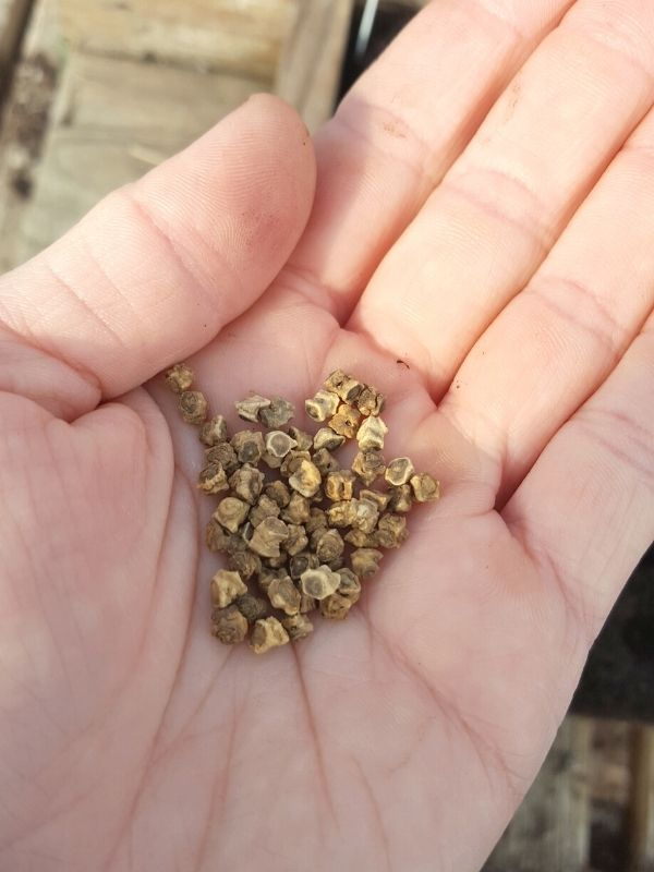 A close up of a hand holding a palm full of beet seeds